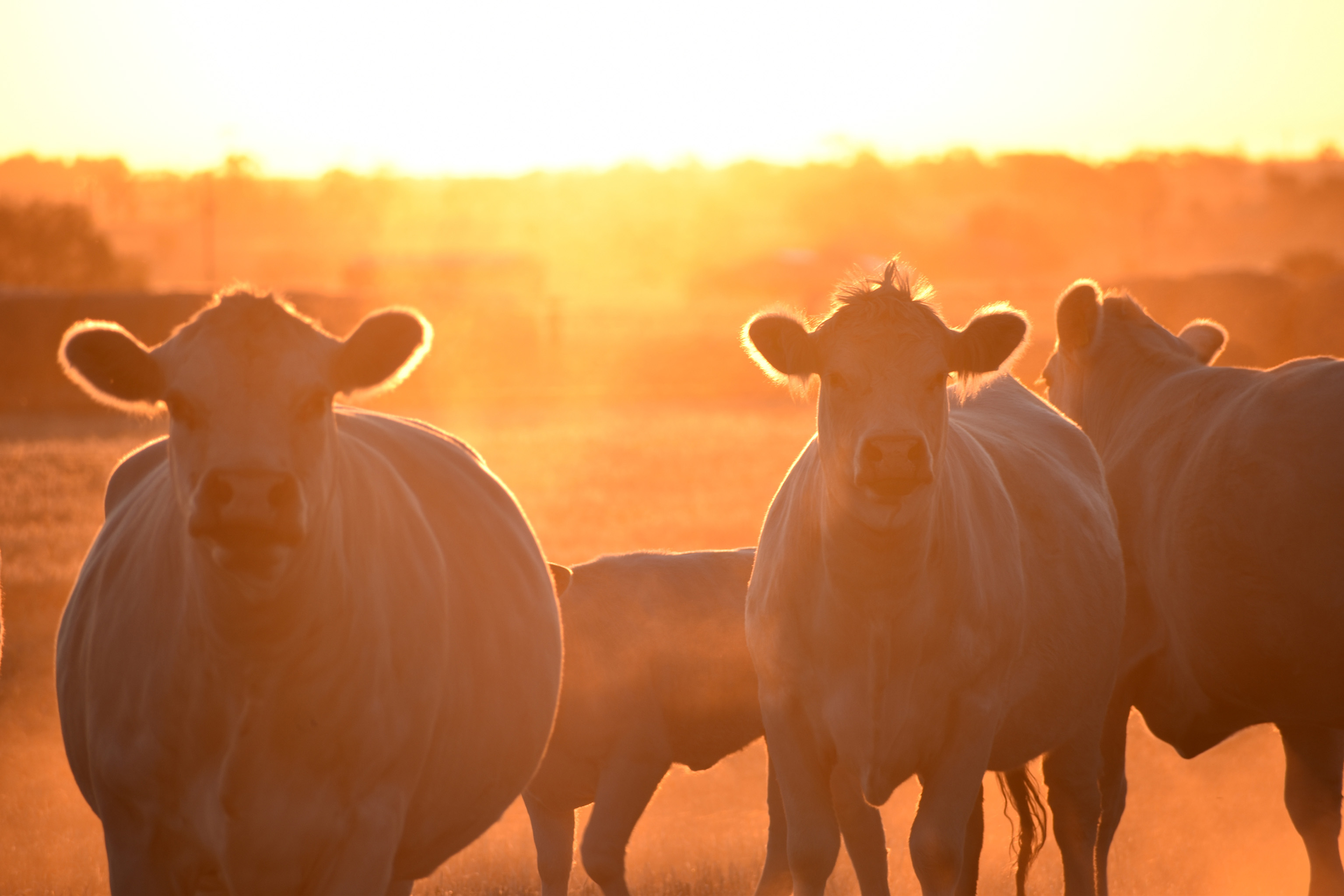 Cows in Sunset blog